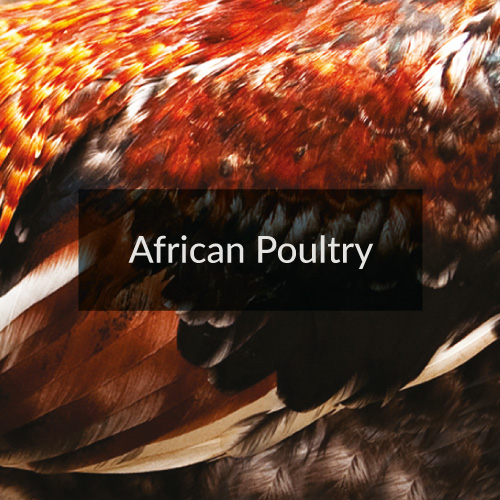 African Poultry
